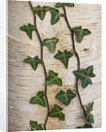 Stone Lane Garden, Devon: Winter - Ivy Growing On The Trunk Of Betula Utilis Ssp Utilis by Clive Nichols