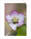 Little Ponton Hall, Lincolnshire: Close Up Of Helleborus 'cherry Blossom' by Clive Nichols