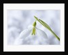 Cotswold Farm, Gloucestershire: Close Up Of Snowdrop - Galanthus 'peg Sharples' - In Snow by Clive Nichols