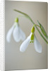 Cotswold Farm, Gloucestershire: Close Up Of Snowdrop - Galanthus Gracilis 'highdown' by Clive Nichols