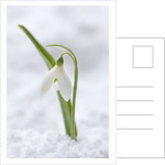Cotswold Farm, Gloucestershire: Close Up Of Snowdrop - Galanthus 'woronowii' - In Snow by Clive Nichols