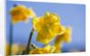 R.a.scamp, Quality Daffodils, Cornwall: Daffodil - Narcissus 'arwenack' by Clive Nichols