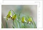 Laurence Hill Collection Of Fritillaria: Fritillaria Carica by Clive Nichols