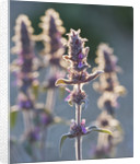 Garden Of Olivier Filippi, Meze, France: Close Up Of Stachys Cretica by Clive Nichols