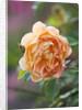 Ragley Hall, Warwickshire: David Austin Rose - Rosa 'lady Of Shallot' by Clive Nichols