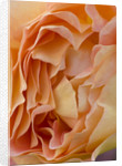 Ragley Hall, Warwickshire: Close Up Of The David Austin Rose - Rosa 'lady Of Shallot' by Clive Nichols