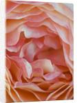 Ragley Hall, Warwickshire: Close Up Of The David Austin Rose - Rosa 'lady Emma Hamilton' by Clive Nichols