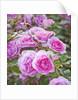 Ragley Hall, Warwickshire: Roses - David Austin Rose - Rosa 'cariad' by Clive Nichols