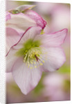 Close Up Of Harvington Hellebore - Helleborus Orientalis Hybrids 'harvington 'rebekah' by Clive Nichols