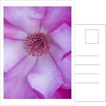 Marwood Hill, Devon: Close Up Of Centre Of Magnolia Sprengeri  'marwood Spring' by Clive Nichols