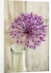 Allium 'Violet beauty' by Clive Nichols