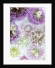 Back view of allium heads on white background by Clive Nichols