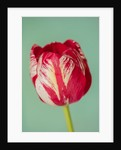 Tulipa 'Mabel' by Clive Nichols