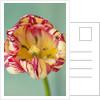 Tulipa 'Saskia' by Clive Nichols