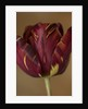 Tulipa 'Absalon' by Clive Nichols