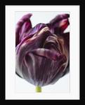 Tulipa 'Rembrandt' by Clive Nichols