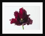 Tulipa 'Black parrot' by Clive Nichols