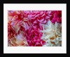 Abstract still life of colourful dahlias by Clive Nichols