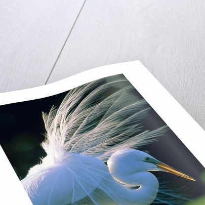 Great egret by Corbis