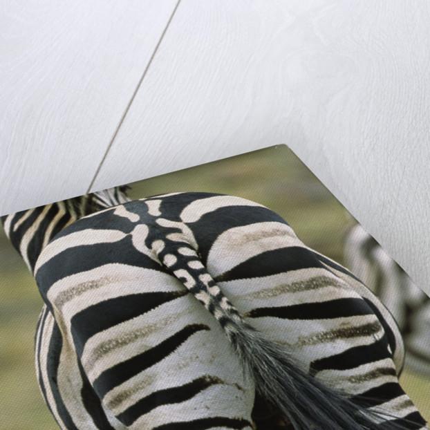 Zebra's Hindquarters by Corbis