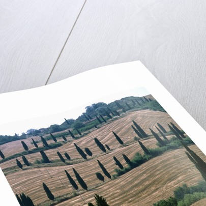 Cypresses and stubble fields in the Tuscany by Corbis