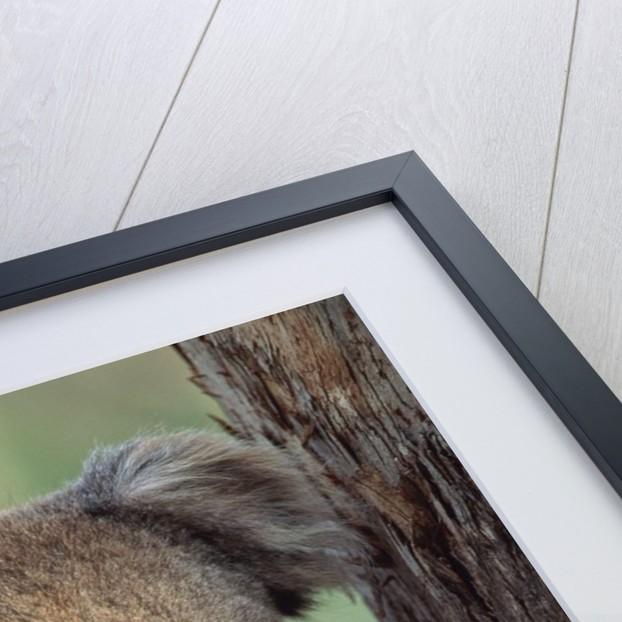 Koala bear by Corbis