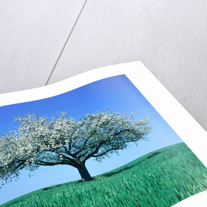 Blossoming Tree in Field by Corbis