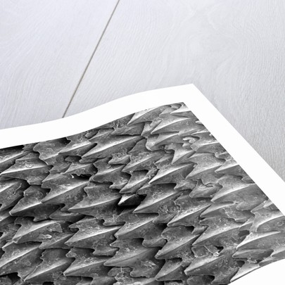 Great White Shark Scales by Corbis