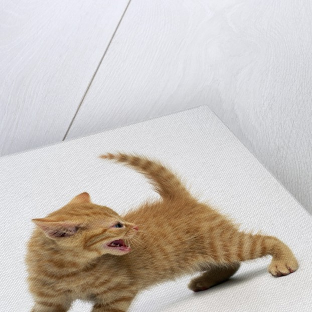 Angry Kitty by Corbis