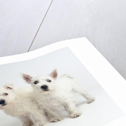 West Highland White Terrier Puppies by Corbis