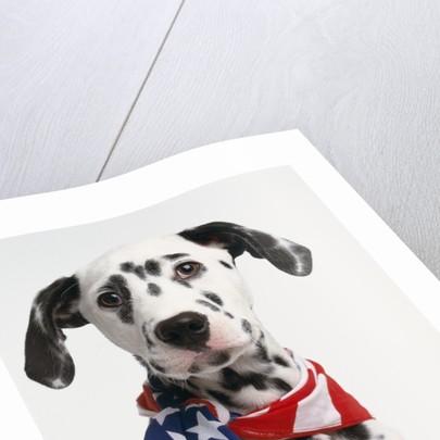 Dalmatian Wearing Bandanna by Corbis