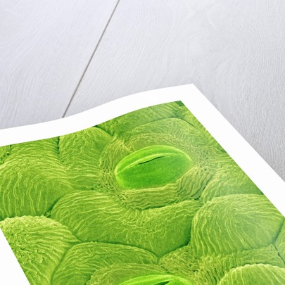 Stomata on a Camellia Leaf by Corbis