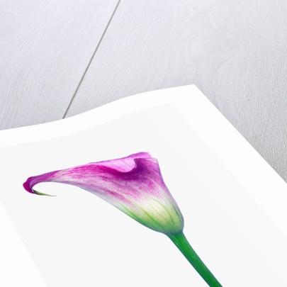 Calla Lily by Corbis