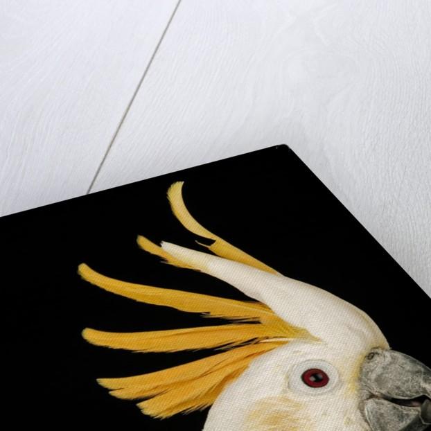 Cockatiel by Corbis