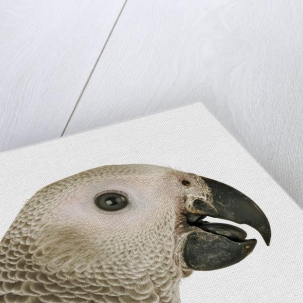 Grey Parrot by Corbis