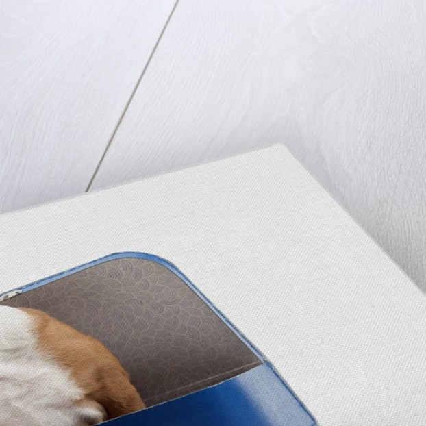 English Bulldog Puppy Sitting in a Lunch Box by Corbis