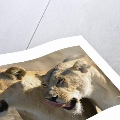 Lionesses Watching Savanna by Corbis