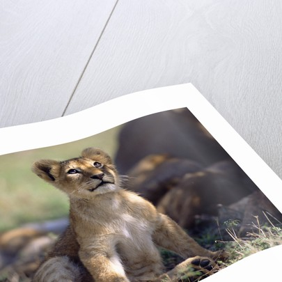 Lion Cub Watching Birds by Corbis