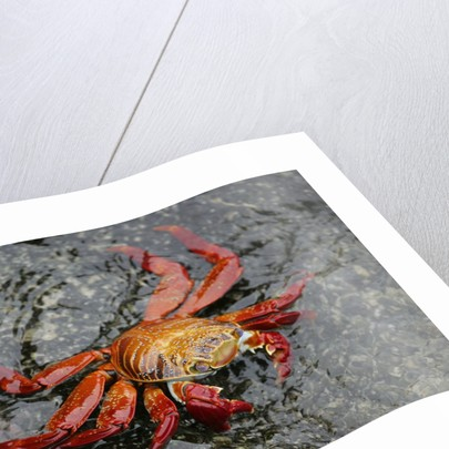 Sally Lightfoot Crab by Corbis