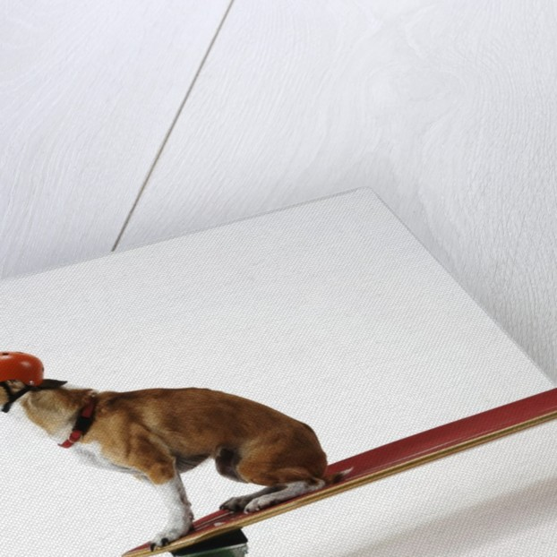 Chihuahua on a Skateboard by Corbis