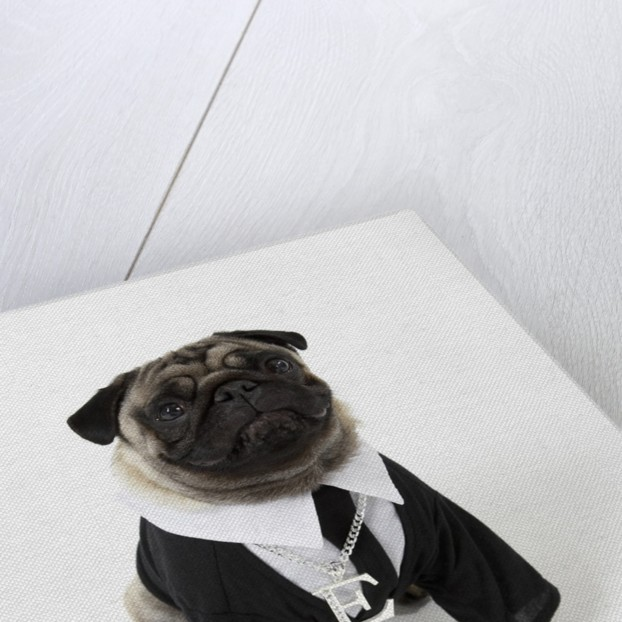 Pug Wearing Shirt, Tie and Necklace by Corbis