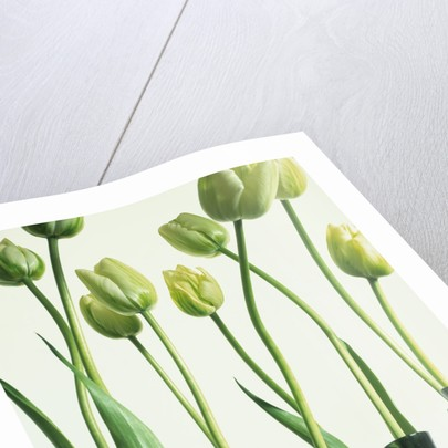 Green Tulips In Vases Posters Prints By Corbis
