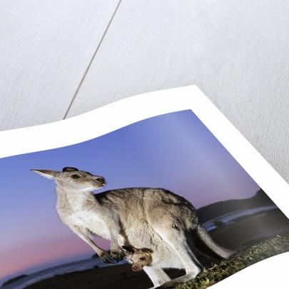 Eastern Gray Kangaroo by Corbis