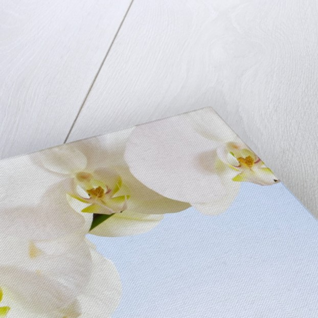White Orchids on Blue Background by Corbis