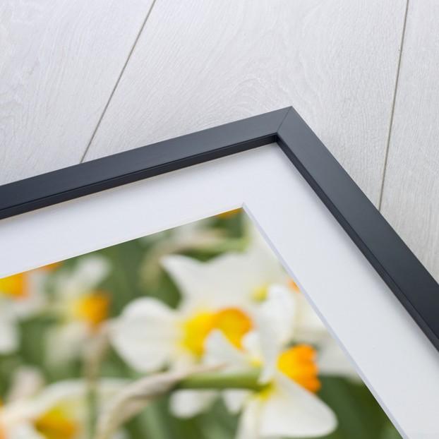 Flowerdrift Narcissus by Corbis