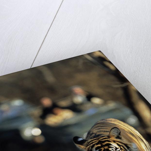 Bengal Tiger by Corbis