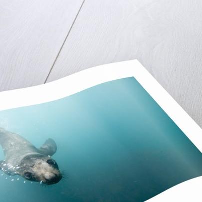 Swimming Antarctic Fur Seal by Corbis