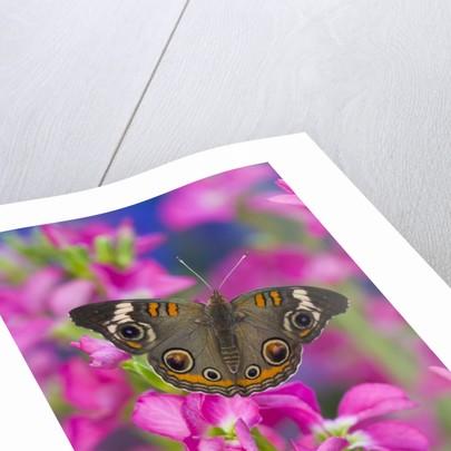 Buckeye Butterfly by Corbis