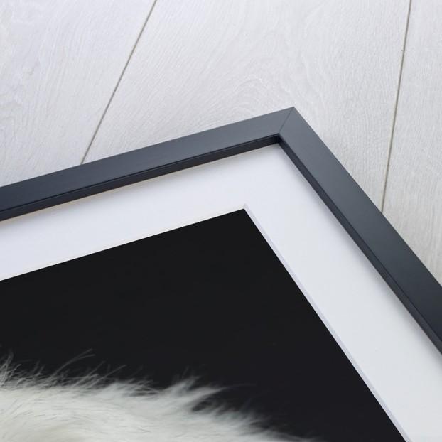 Dandie Dinmonts Terrier by Corbis