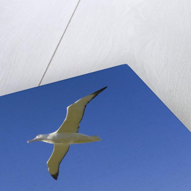 Wandering Albatross in Flight by Corbis